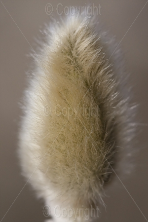 Pussy Willow (Salix) Catkin
